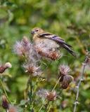 Uccello nei cardi selvatici Immagine Stock