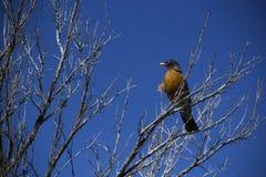 Uccello nei rami immagini stock