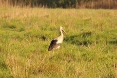 Uccello nel campo, Gruidae della gru Fotografia Stock Libera da Diritti