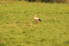 Uccello nel campo, Gruidae della gru Fotografie Stock