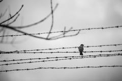 Uccello nel filo spinato Fotografie Stock