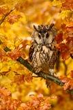 Uccello nel gufo della foresta di autunno in foglie di autunno arancio Gufo comune con le foglie arancio della quercia durante l' Immagini Stock Libere da Diritti