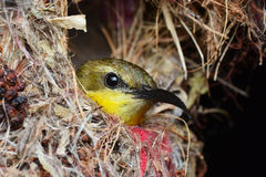 Uccello nel nido Immagine Stock Libera da Diritti