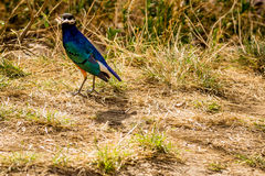 Uccello nel Serengeti Fotografia Stock Libera da Diritti