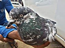 Uccello nella mano Fotografia Stock