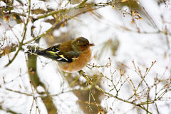 Uccello nella neve Fotografia Stock Libera da Diritti