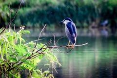 Uccello nella palude Fotografia Stock