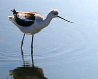 Uccello nelle aree umide Fotografia Stock Libera da Diritti