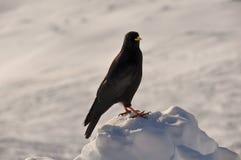 Uccello nelle montagne francesi di Alpes a Chamonix-Mont-Blanc, Francia Immagini Stock Libere da Diritti