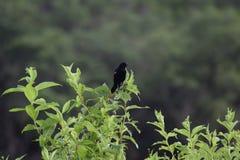 Uccello nero fotografie stock