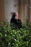 Uccello nero Immagini Stock