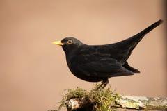 Uccello nero Immagine Stock