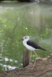 uccello Nero-alato dello Stilt che cammina vicino al raggruppamento Immagine Stock