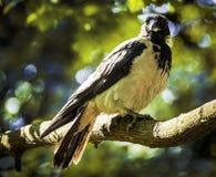 Uccello nero comune Immagini Stock Libere da Diritti