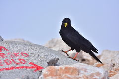 Uccello nero con il becco giallo Immagini Stock Libere da Diritti