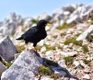 Uccello nero con il becco giallo Fotografie Stock