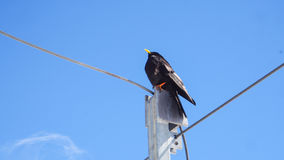Uccello nero con il fondo del cielo blu Immagini Stock