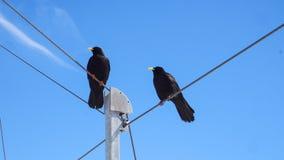 Uccello nero con il fondo del cielo blu Fotografia Stock