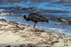 Uccello nero con un grande becco che sta vicino ad un lago, in Florianopolis, il Brasile fotografia stock