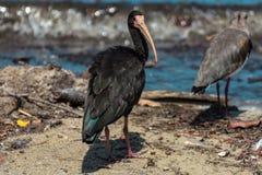 Uccello nero con un grande becco che sta vicino ad un lago, in Florianopolis, il Brasile immagine stock libera da diritti