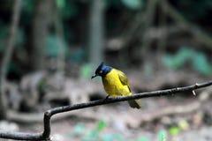 uccello Nero-crestato di Bulbul Immagine Stock Libera da Diritti