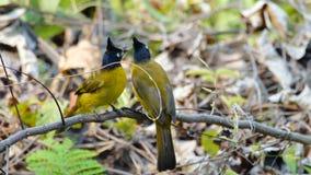 uccello Nero-crestato di Bulbul stock footage