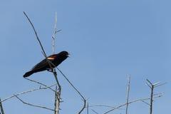 Uccello nero del tordo sassello Fotografie Stock Libere da Diritti
