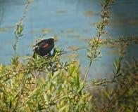 Uccello nero del tordo sassello Fotografia Stock Libera da Diritti