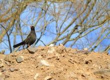 Uccello nero della cesena Immagini Stock Libere da Diritti
