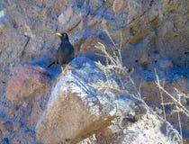 Uccello nero della cesena fotografia stock libera da diritti