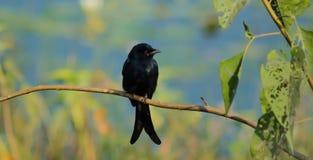 Uccello nero (Drongo nero) Immagini Stock