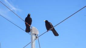 Uccello nero due con il fondo del cielo blu Fotografia Stock Libera da Diritti