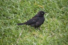 Uccello nero in erba Immagini Stock Libere da Diritti
