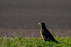 Uccello nero nell'erba Fotografia Stock