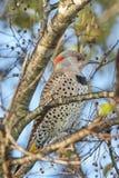 Uccello nordico della luce intermittente appollaiato in un albero Fotografie Stock Libere da Diritti