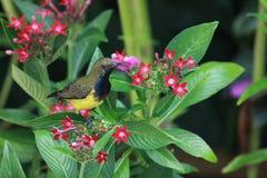 uccello Oliva-di appoggio del sole Immagine Stock