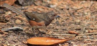 Uccello orientale del Towhee immagine stock