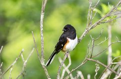 Uccello orientale del Towhee in Ridge Mountains blu, Nord Carolina Immagine Stock