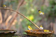 Uccello orientale dell'bianco-occhio Immagine Stock