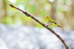 Uccello orientale dell'Bianco-occhio (palpebrosus di Zosterops) Fotografia Stock Libera da Diritti