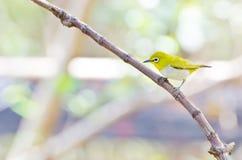 Uccello orientale dell'Bianco-occhio (palpebrosus di Zosterops) Fotografia Stock