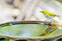 Uccello orientale dell'Bianco-occhio (palpebrosus di Zosterops) Immagine Stock Libera da Diritti