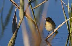 Uccello paffuto fotografia stock
