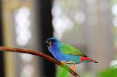 Uccello, Parrotfinch Blu-affrontato Fotografie Stock Libere da Diritti