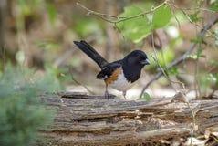 Uccello parteggiato Rufous orientale del Towhee fotografia stock