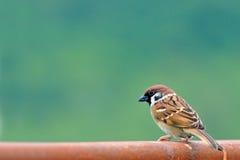 Uccello (passero euroasiatico dell'albero) Immagini Stock