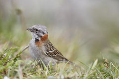 Uccello Patagonian Fotografia Stock