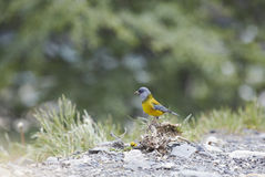 Uccello patagonian del chaffich Fotografia Stock