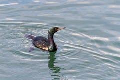 Uccello pelagico di Cormorant fotografia stock