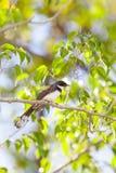 Uccello pezzato del girante laterale (javanica di Rhipidura) Immagine Stock